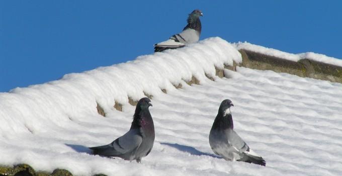 No dejes que las palomas hagan nidos en tus hogar