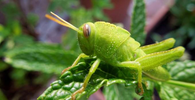 Elimina rápidamente las langostas de tus plantas
